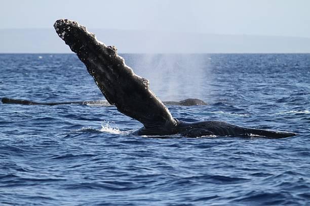 Humpback Whale Pectoral Fin stock photo
