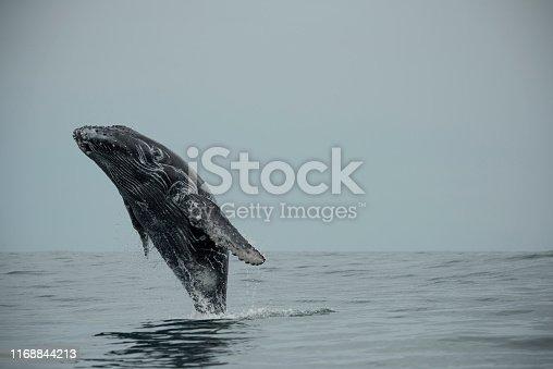 Name: Humpbackwhale Scientific name: Megaptera novaeangliae Country: Costa Rica Location: Marina Balleno National Park - Uvita
