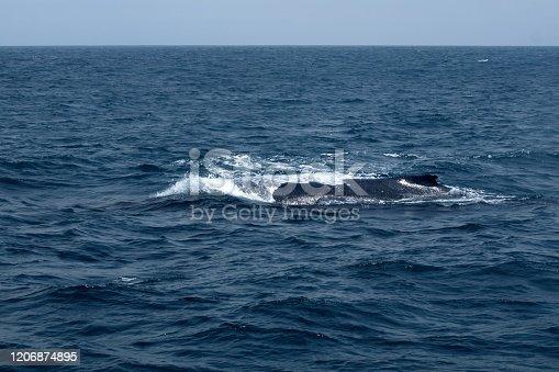 Humpback whale in Machalilla National Park off the coast of Puerto Lopez, Ecuador