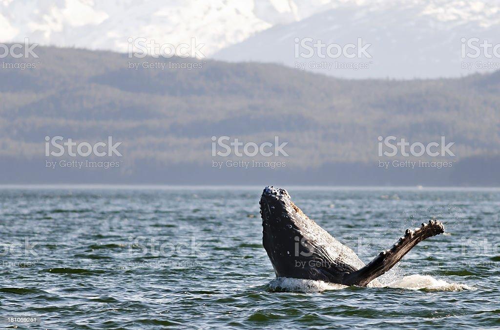 Humpback Whale stock photo