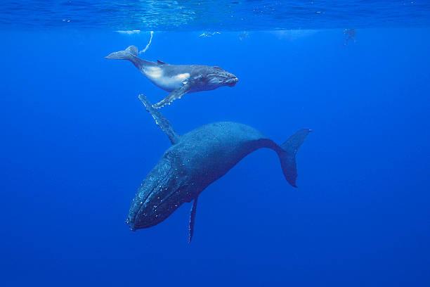 Baleine à bosse - Photo