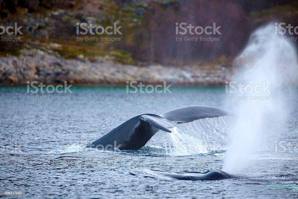 Humpback whale safari in the arctic stock photo
