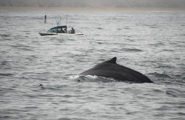 Humpback Whale & Small Fishing Boat stock photo