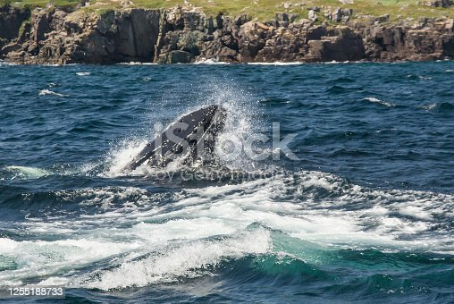 A Humpback Whale (Megaptera novaeangliae) snapping its mouth closed over a shoal of Capelin fish while feeding during the Capelin Run in early July. Trinity Bay, Newfoundland, Canada. Some escaping Capelin can be seen in the seafoam beside the whale's mouth.
