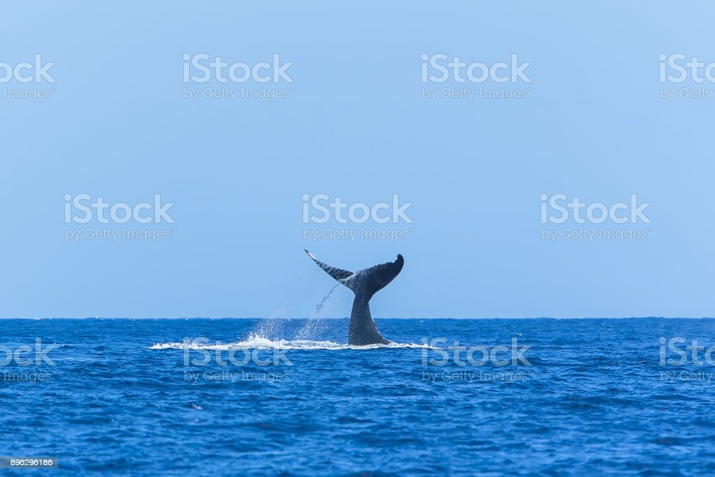Humpback whale swimming stock photo