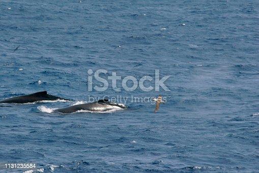 Humpback whale swims Neko Harbour icebergs Andvord Bay Antarctica
