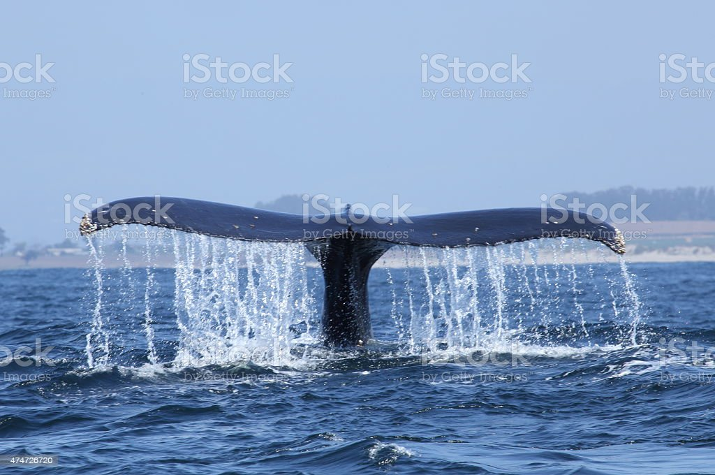 humpback whale tail diving in Monterey bay stock photo