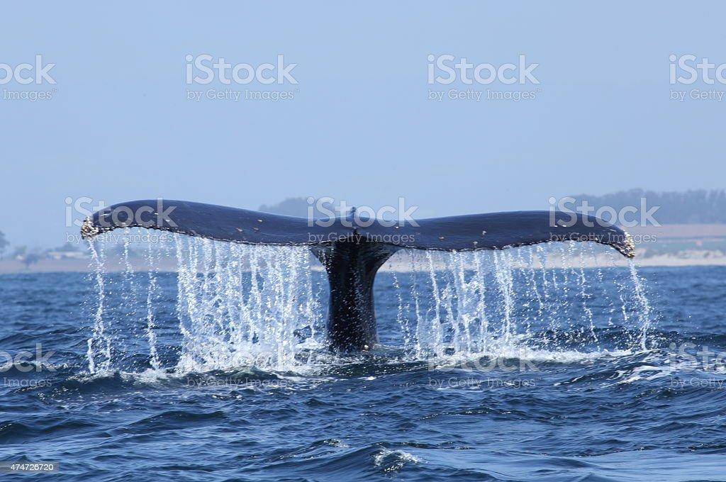 Ballena jorobada cola buceo en la Bahía de Monterey - foto de stock