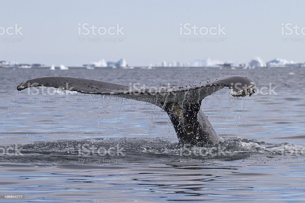 humpback whale tail diving in waters stock photo
