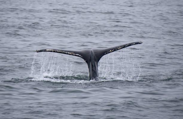 Humpback Whale Tail Fluke stock photo