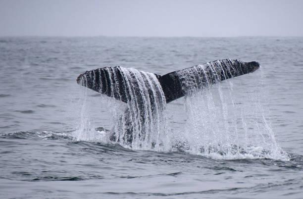 Humpback Whale Tail Fluke Rising stock photo