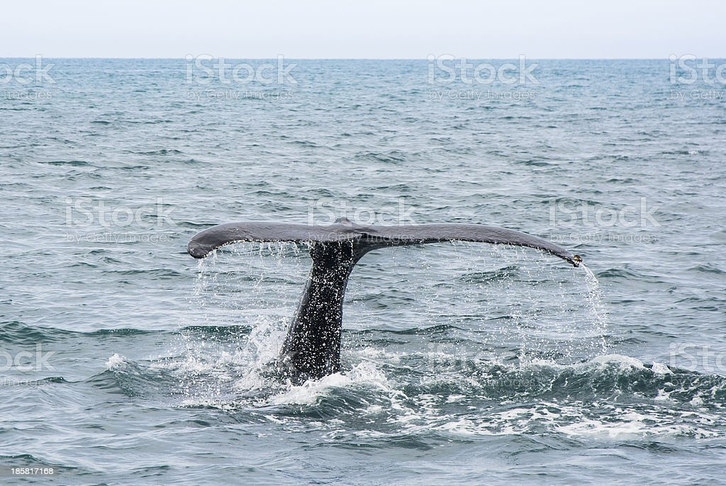 Humpback Whale tail. Megaptera novaeangliae royalty-free stock photo