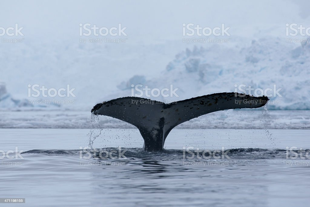 Humpback whale tail or fluke royalty-free stock photo
