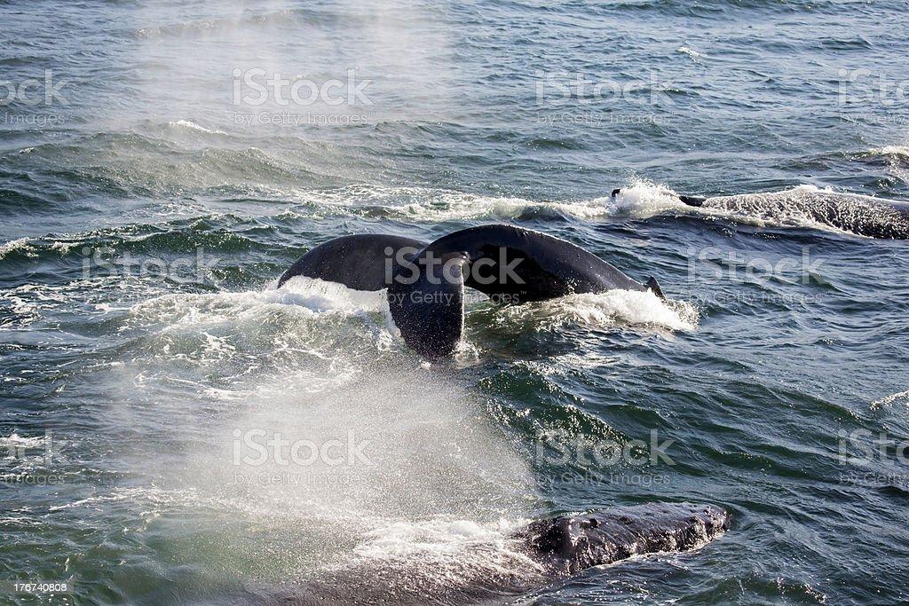 Humpback Whale Tail (Megaptera novaeangliae) stock photo