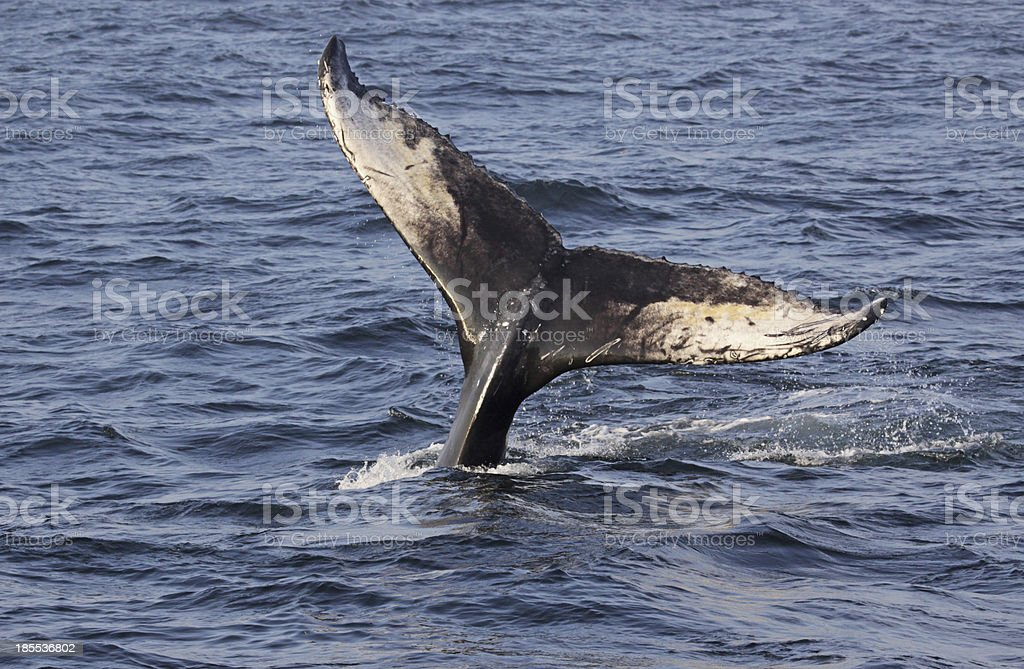 Humpback Whale Tail royalty-free stock photo