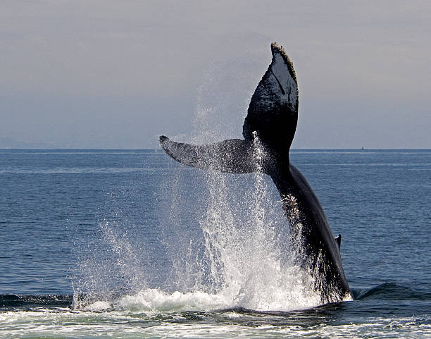 Humpback Whale Tail Slap stock photo