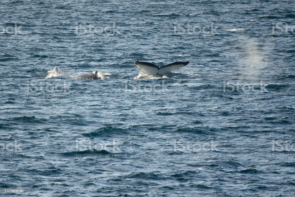 Humpback whale tail trio Gerlache Strait Danco Coast Antarctica stock photo
