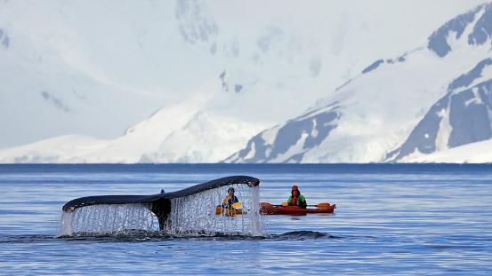 Bultrug Staart Met Kayak Stockfoto en meer beelden van Antarctica