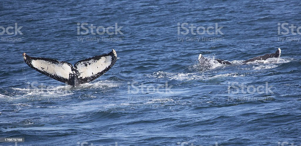 Humpback Whale Tails (Megaptera novaeangliae) royalty-free stock photo