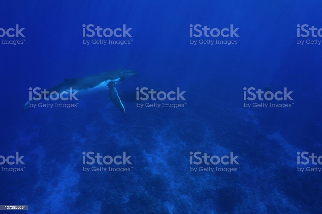 Humpback whale underwater with man in apnea стоковое фото