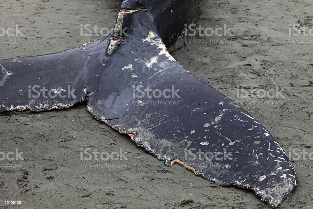 Humpback whale washes ashore and died royalty-free stock photo