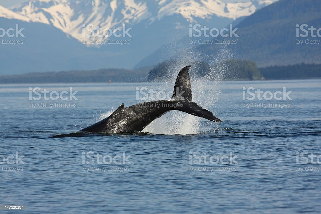 Humpback Whale Watch Alaska Northwest Whalewatch New England Travel Tour stock photo