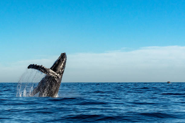 humpback whale while jumping breaching humpback whale breaching on pacific ocean background whale stock pictures, royalty-free photos & images