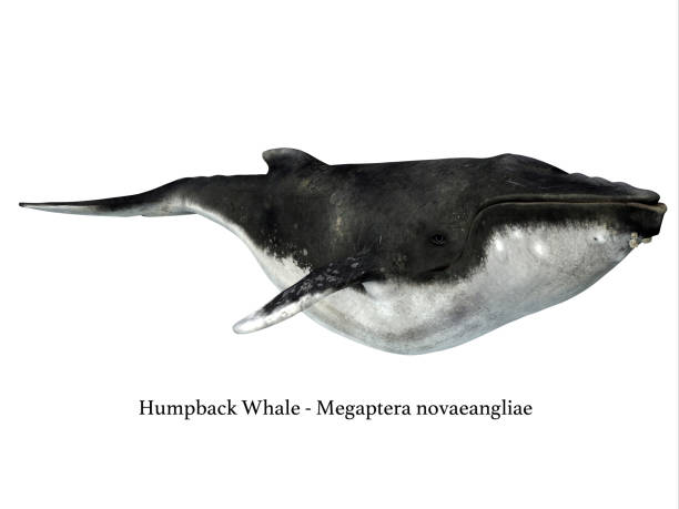 Humpback Whale with Barnacles stock photo