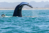 Humpback whale (Megaptera novaeangliae), feeding on anchovies, with it's tail raised above the ocean surface, as it dives down below the ocean surface.