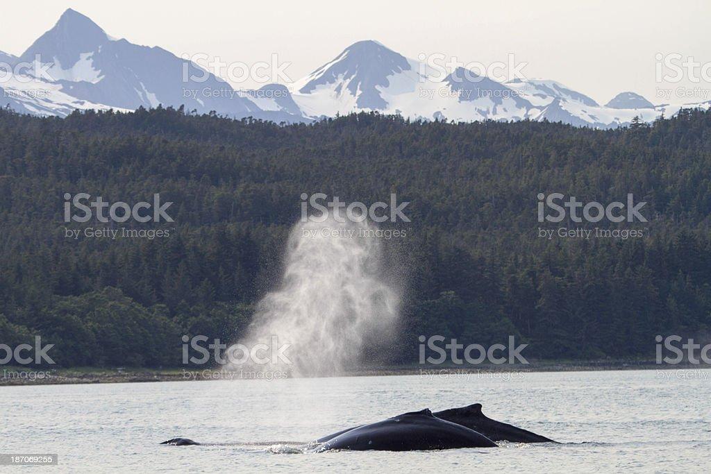 Humpback Whales Alaska stock photo