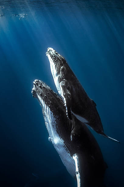 Humpback whales and calf. Calf humpback whale with mom. whale stock pictures, royalty-free photos & images