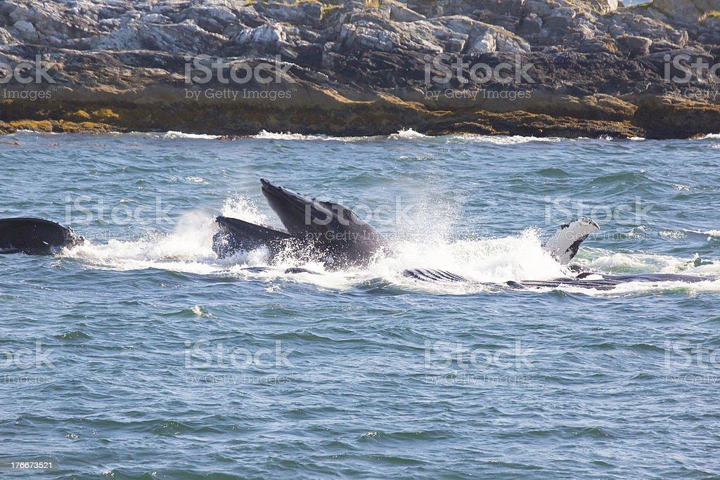 Humpback Whales Bubble Net feeding (Megaptera novaeangliae) royalty-free stock photo