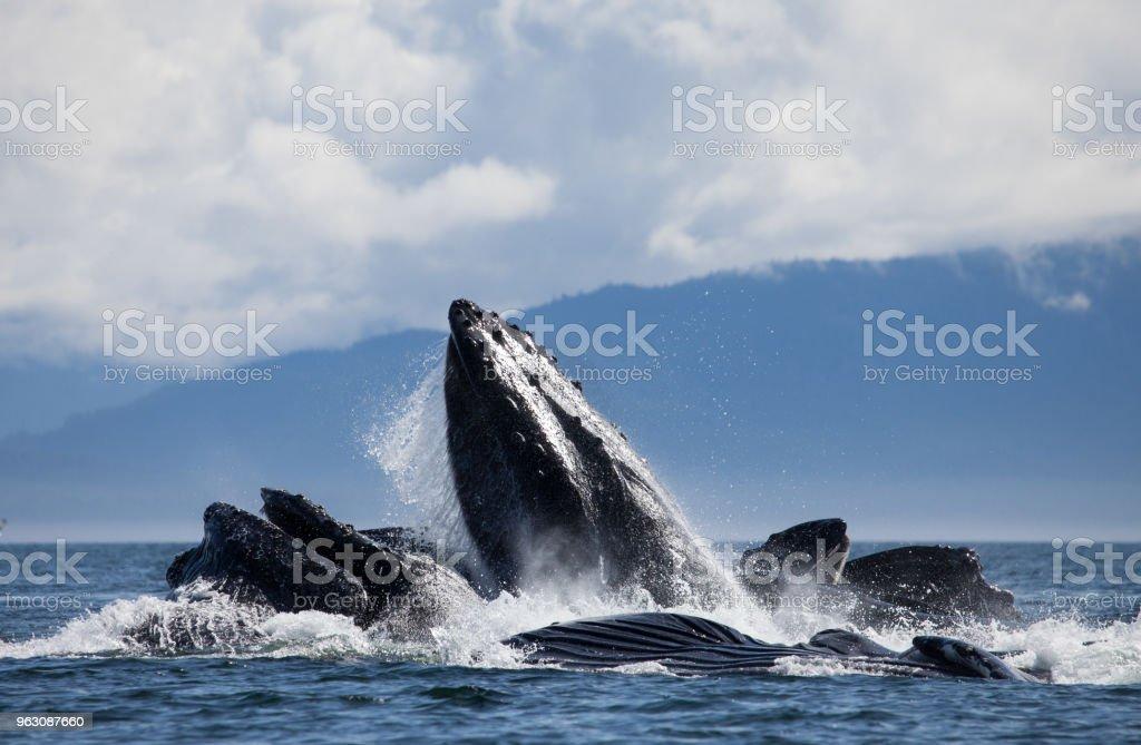Humpback Whales Bubble Net Feeding stock photo