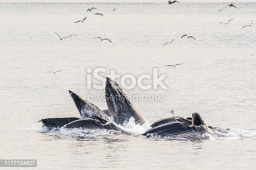 Humpback whales engaged in cooperative behavior known as bubblenet feeding in Chatham Strait