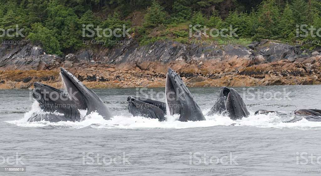 Humpback whales cooperatively feeding in Alaska stock photo