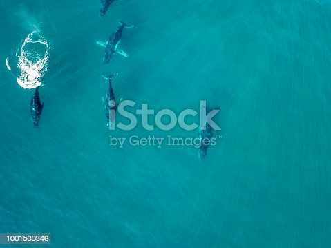 An aerial photo of humpback whales in a pod