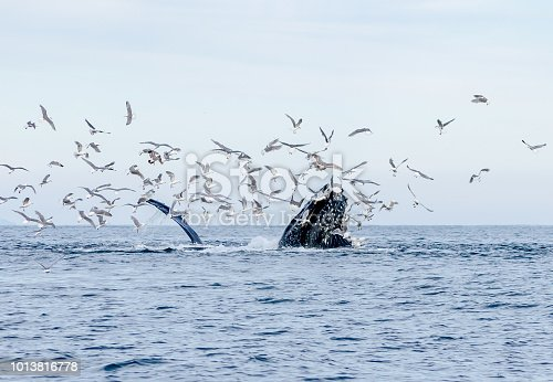 Three Humpback whales circling their bait and enjoying a feast.  The seagulls picking up the scrapes.