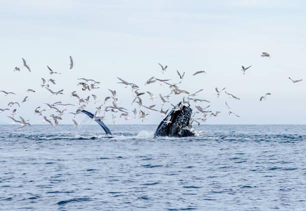 humpback whales in alaska - uccello marino foto e immagini stock