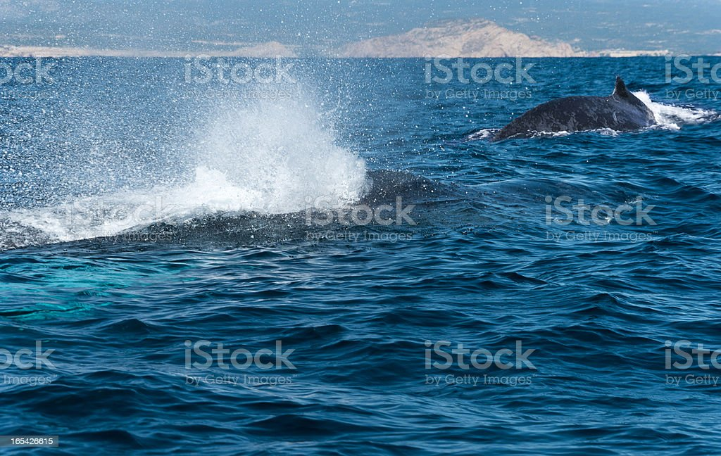 Humpback whales in California royalty-free stock photo