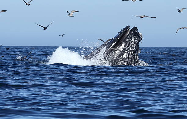 Humpback Whales lunge feeding Humpback Whales lunge feeding in monterey bay California USA feeding frenzy stock pictures, royalty-free photos & images