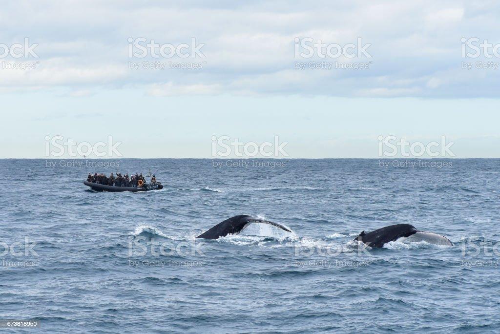 Humpback whales stock photo