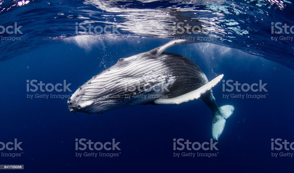 Humpback whales stock photo