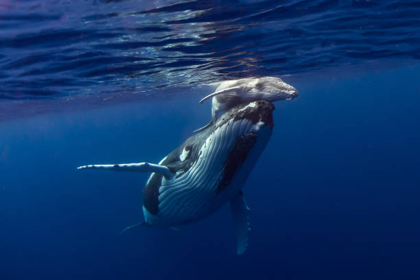 Humpback Whales Tonga whale stock pictures, royalty-free photos & images