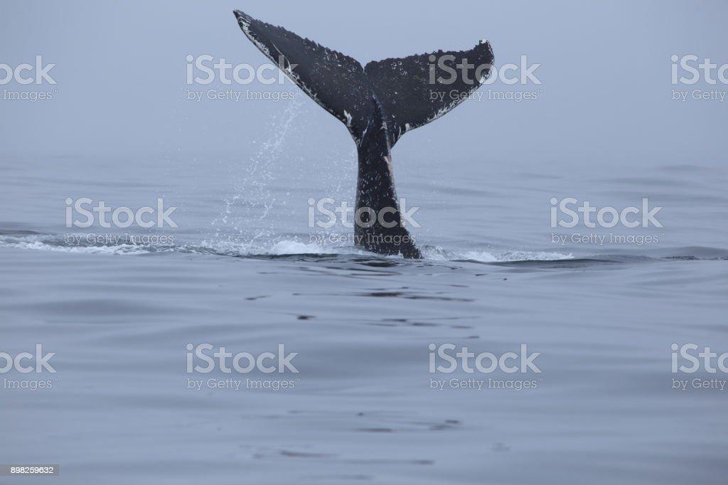 Baleias-jubarte - foto de acervo