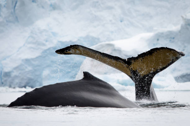 humpbacks in motion - wildlife conservation stock photos and pictures