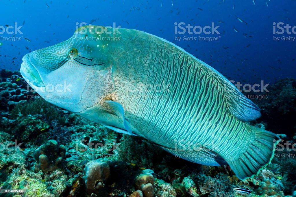 humphead wrasse fish stock photo