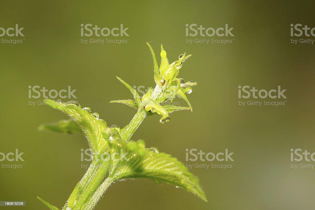 humulus leaves royalty-free stock photo