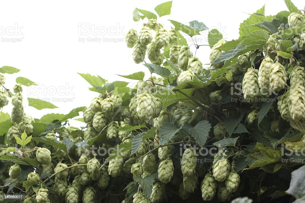 Humulus lupulus royalty-free stock photo