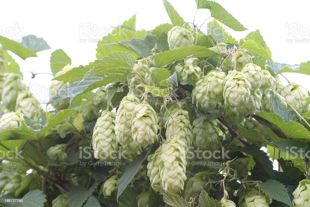 Humulus lupulus royalty-free stock photo