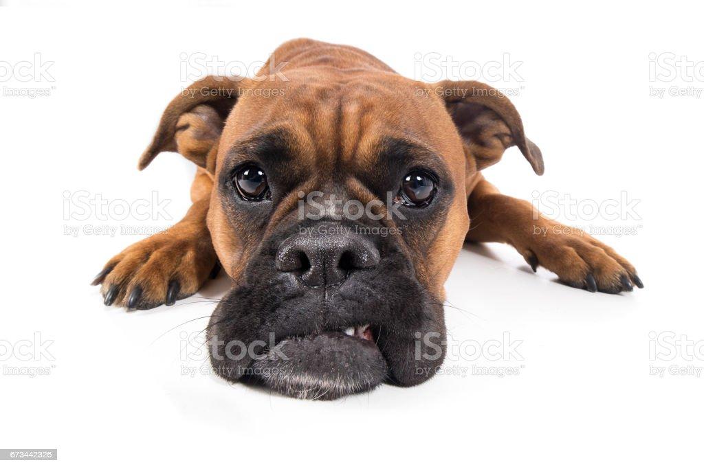 Hund Boxer braun liegt mit Schnautze auf Boden und guckt traurig – zdjęcie